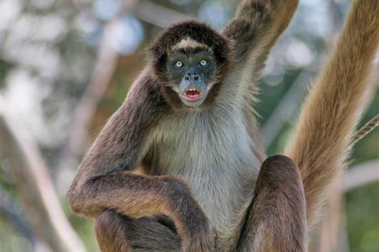 El mono araña marrón o multicolor (Ateles hybridus), uno de los 25 primates más amenazados del mundo y residente de la Estación Experimental Caparo. Imagen de un fotógrafo autorizado bajo la licencia genérica Creative Commons Atribución-CompartirIgual 3.0.