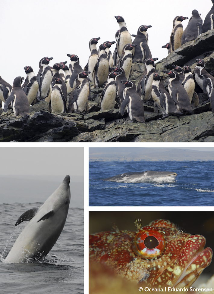 Especies protegidas de la Reserva Nacional Pingüino de Humboldt y Reserva Marina Isla Choro y Damas. Foto: © Oceana - Eduardo Sorensen.