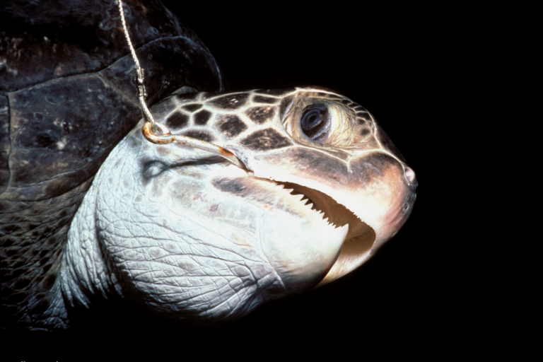 El daño interno que les producen los anzuelos pueden causarles la muerte. Foto: WWF Perú.