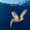 Las especies más amenazadas son la tortuga laúd y la carey cuya población se ha reducido en más del 80 %. Foto: WWF