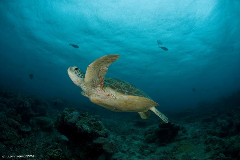 La tortuga verde es la que más se captura, de manera ilegal, para el consumo de su carne. Foto: WWF Perú.