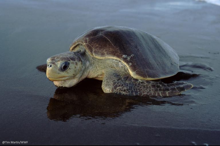 La tortuga golfina está en riesgo por la destrucción de las zonas de anidamiento. Foto: WWF Perú.