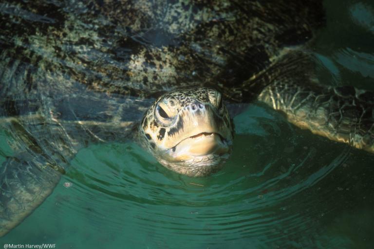 En Perú se está elaborando un Plan Nacional de Conservación de las Tortugas Marinas en el Perú. Foto: WWF Perú.