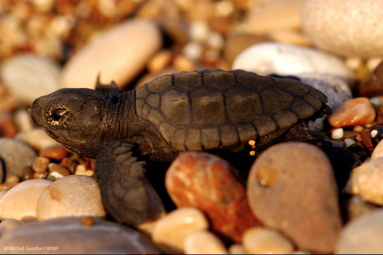 La tortuga cabezona es una especie que migra desde Australia hasta las costas de Perú y Chile. Foto: WWF Perú.
