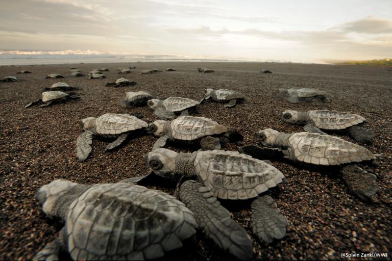 Las tortugas se guían por la claridad del horizonte para llegar al mar. Foto: WWF Perú.