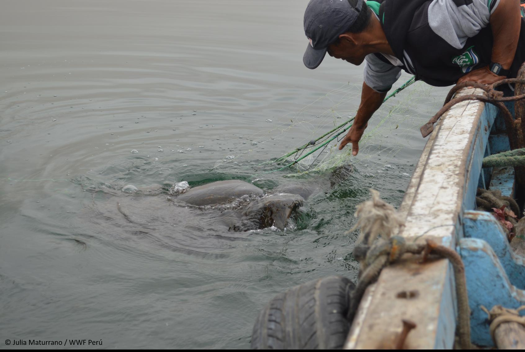 La captura incidental es una de las principales amenazas para las tortugas que habitan el mar peruano. Foto: WWF Perú.