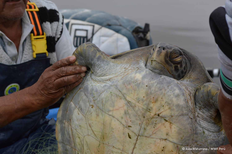 La liberación de las tortugas atrapadas en las redes de los pescadores no siempre es exitosa. Foto: WWF Perú.
