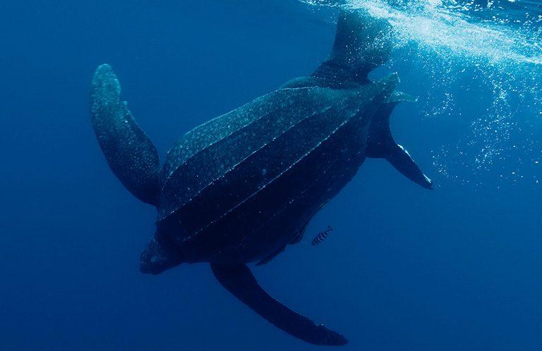 En las zonas de anidamiento, las tortugas dorso de cuero se ven expuestas al saqueo de huevos. Foto: WWF Perú.