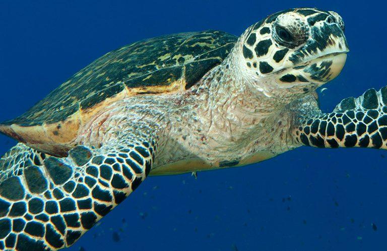 La población de la tortuga carey en las costas peruanas ha disminuido en 80% en sus tres últimas generaciones. Foto: WWF Perú.