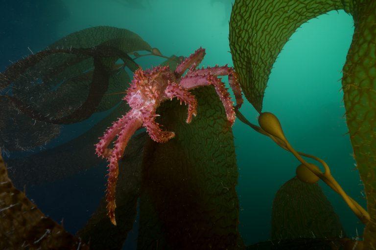 El fondo del mar del Seno Almirantazgo alberga especies como la cetolla (Lithodes santolla). Foto: Justin Hofman / WCS
