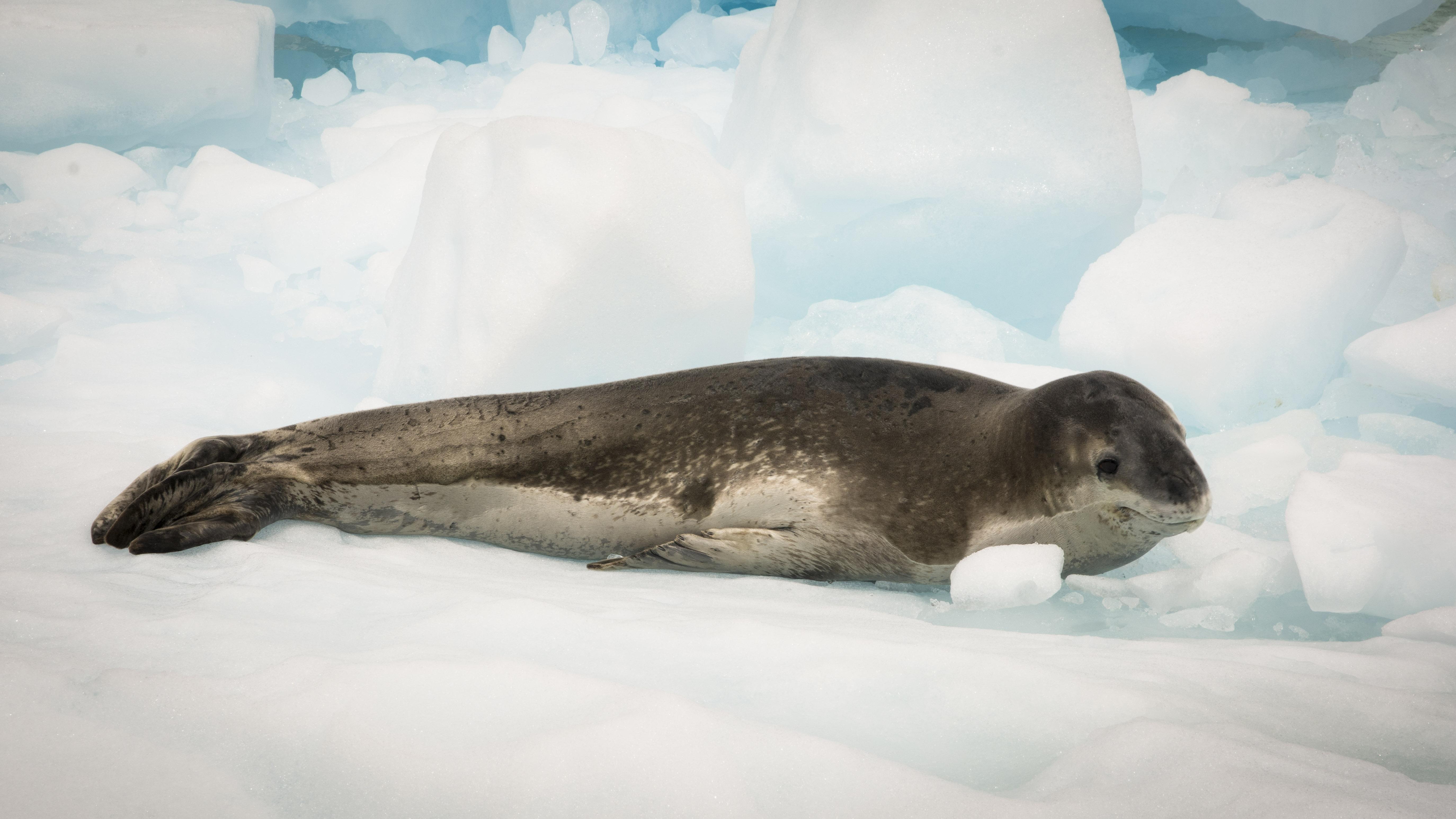El área marina Seno Almirantazgo protege zonas de descanso, alimentación y reproducción de la foca leopardo. Foto: Jorge Vidal / WCS.