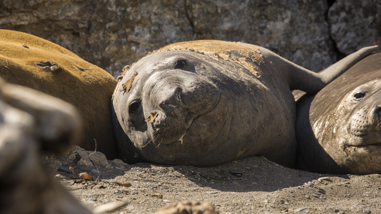 El seno Almirantazgo es zona de descanso, muda y reproducción del elefante marino del sur. Foto: Jorge Vidal / WCS.