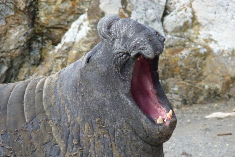 La presencia del elefante marino del sur es considerada una señal de buena salud de los ecosistemas marinos. Foto: Jorge Vidal / WCS.