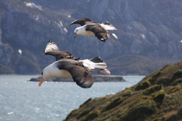 Al interior del Seno de Almirantazgo existe una colonia de albatros de ceja negra. Foto: Alejandro Vila / WCS.