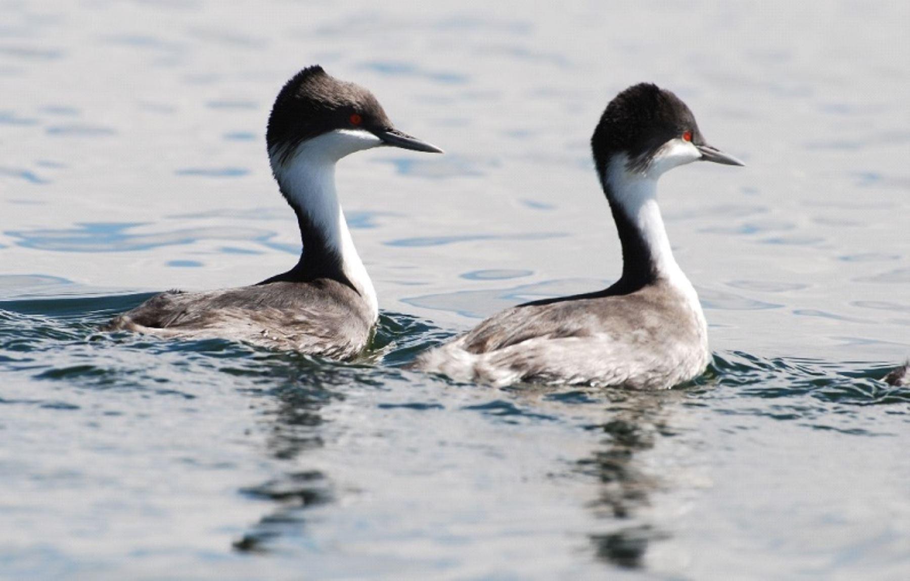 El Zambullidor de Junín ocupa cerca del 50 % del lago Junín, la única localidad en la que se encuentra esta especie. Foto: Agencia Andina.