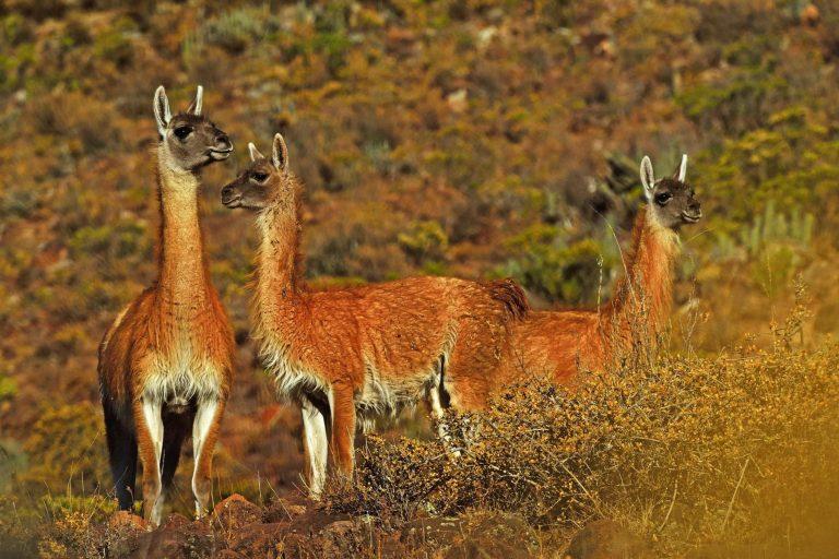 El guanaco llegaría a la extinción en el Perú en apenas 30 años si las tasas actuales de cacería furtiva continúan. Foto: Agencia Andina.