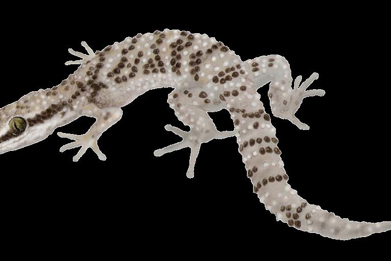 El Gecko de Lima es una especie endémica que habita en las huacas o áreas áridas de la capital de Perú. Imagen: Serfor.