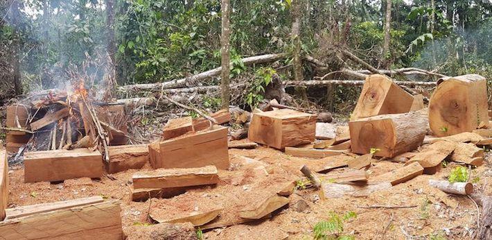 Así queda el bosque luego de la incursión de los taladores ilegales. La madera ya convertida en pies tablares, lista para ser llevada y comercializada. Crédito: SPDA.