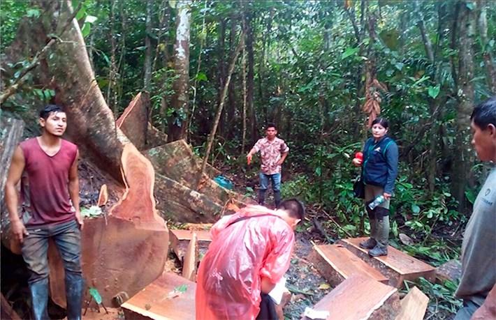 Árboles tumbados, selva destruida. Lo ocurrido en el territorio ancestral de los Ese'eja daña severamente los ecosistemas amazónicos, y se suma al impacto de la minería ilegal. Crédito: SPDA.