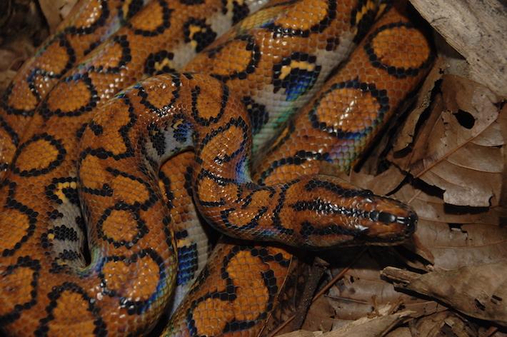La boa arcoiris, una de las 45 especies de reptiles que habita en el Corredor. Foto: NCI - Fabián Rodas.