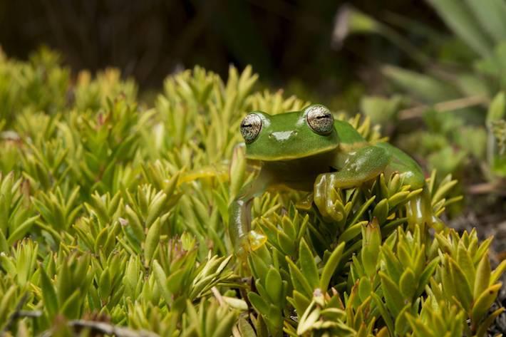 Los anfibios, debido a su directa relación con las fuentes de agua, son un componente clave para dirigir estrategias de conservación a nivel de paisajes. Foto: NCI - Fabián Rodas.