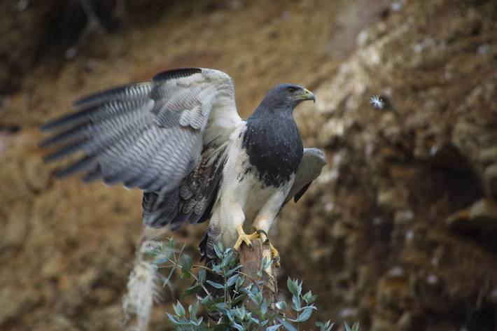 El águila pechinegra es uno de los animales que se beneficia de la conectividad del corredor. Foto: NCI - Fabián Rodas.