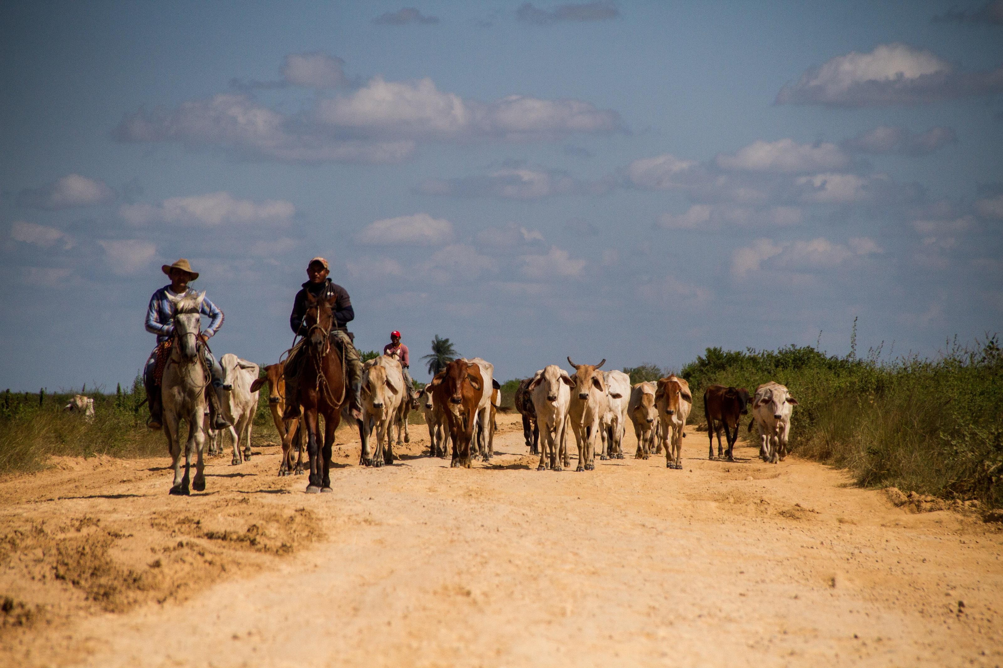 La ganadería es una actividad típica de la Orinoquía colombiana. Hoy está permitida en Cinaruco bajo ciertos parámetros de sostenibilidad. Foto: Rodrigo Durán Bahamón.
