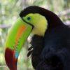 Animales de Belice: El tucán pico iris o tucán piquiverde (Ramphastos sulfuratus) es el ave nacional de Belice. Tiene un tamaño de entre 16 y 83 centímetros y su colorido pico alcanza los 16 cms. Habita en las selvas lluviosas de tierras bajas y se les encuentra hasta los 1900 metros sobre el nivel del mar. Foto: Rhett A. Butler / Mongabay