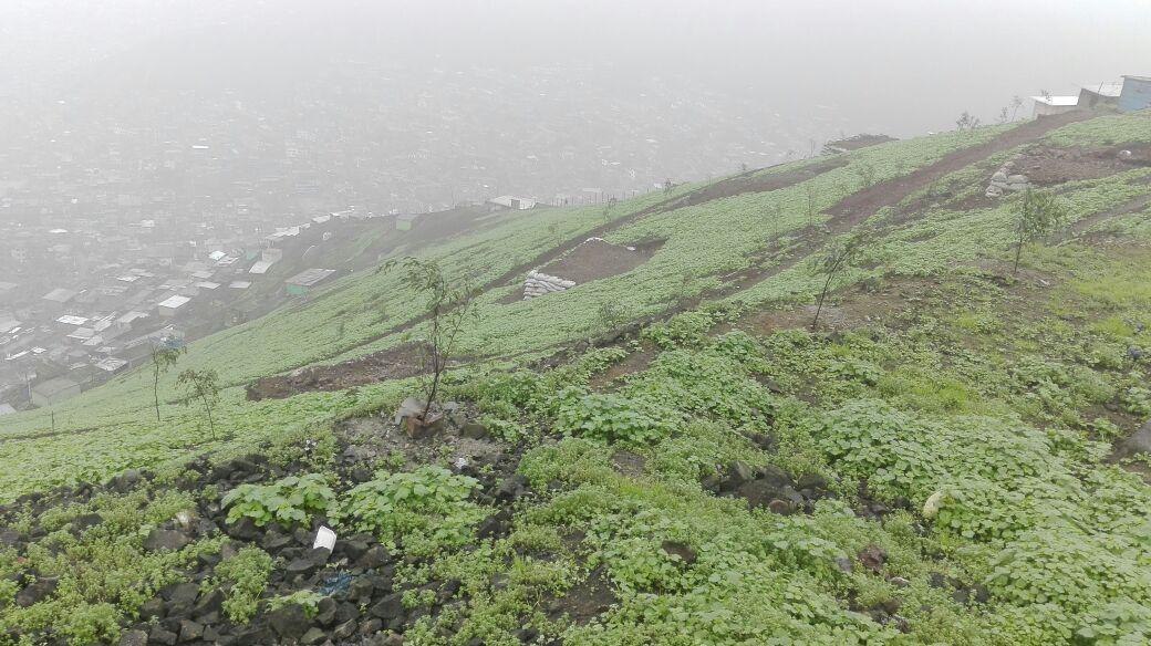 Las Lomas de Amancaes figuran en la lista de los ecosistemas frágiles elaborado por Serfor. Foto: Cecilia Jananpa / PAFLA