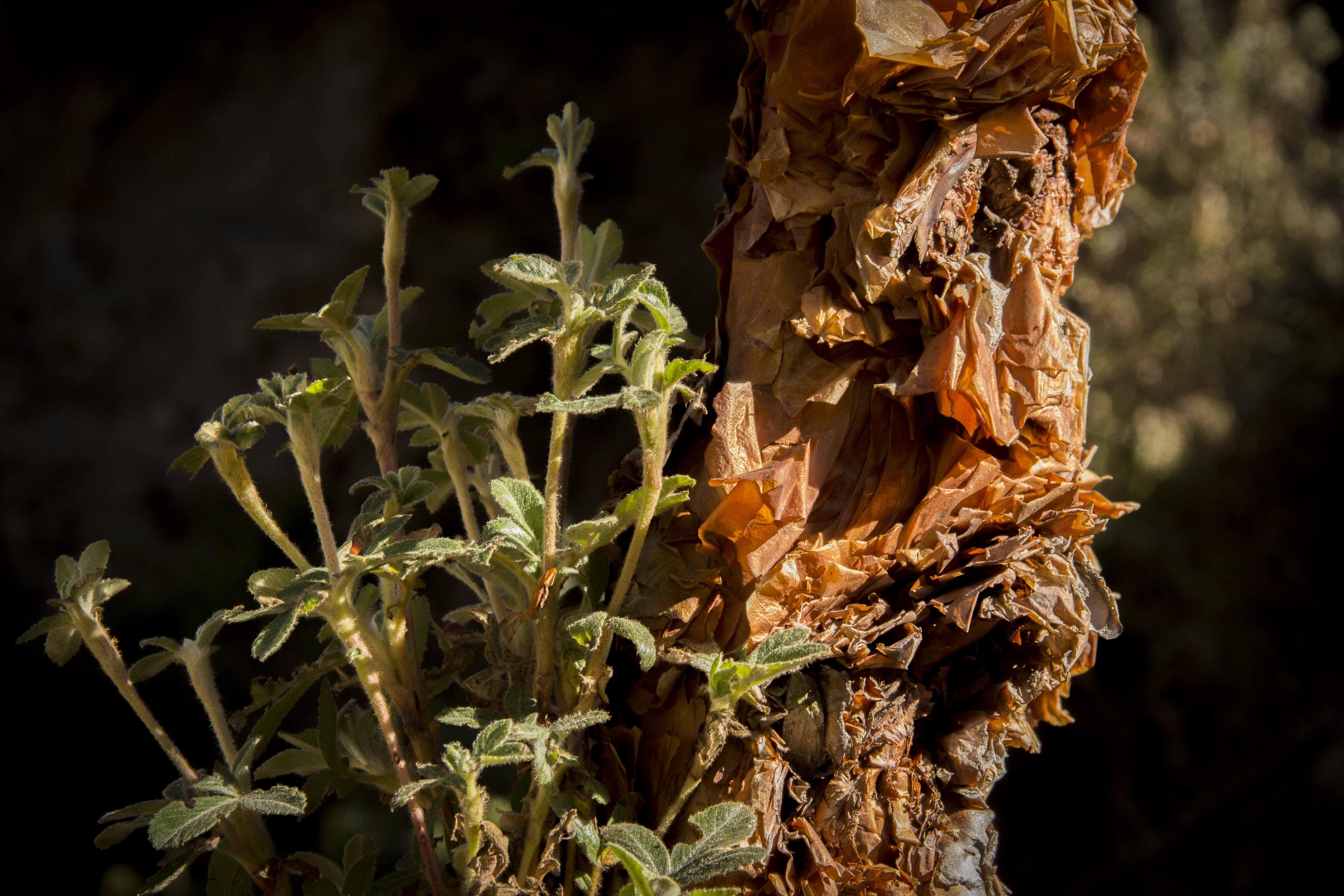Los queñoales crecen en bosques nublados y cumplen una función climática. Foto: Asociación Armonía.