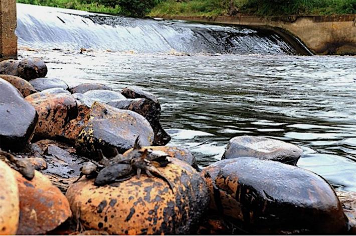 Machado-Allisson denunció en su informe que una gran cantidad de bagres había muerto, lo que demuestra que el crudo se hundió en el lecho del río y afectó toda la cadena trófica. Foto: +VerdeDigital.