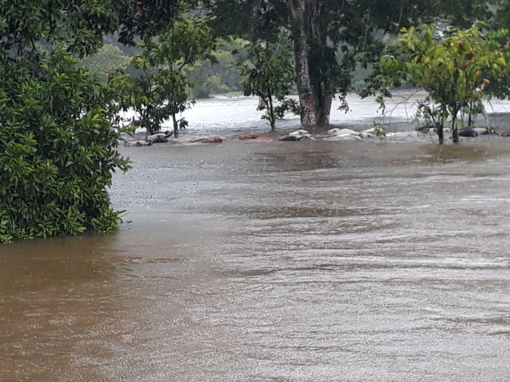 El agua en Inírida casi tapa por completo al ganado. Foto: Javier Zapata, gobernador del Guainía.