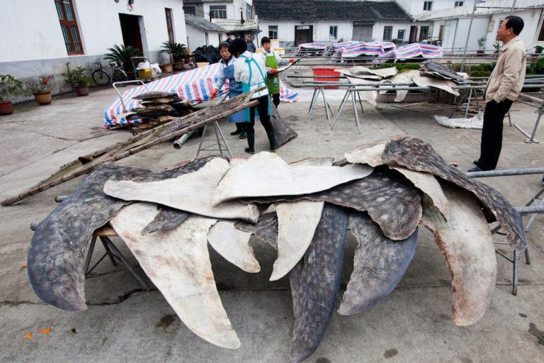 Las aletas de tiburones ballena son secadas y almacenadas para exportarse. Esta planta en Puqi, China, procesa más de 600 de tiburones ballena al año. Foto: WildLife Risk