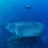 Los movimientos del tiburón ballena son lentos y al parecer no se incomoda por la presencia de extraños en el agua. Alcanzan una velocidad promedio de 5 kilómetros por hora. Créditos: Jonathan Green / Galapagos Whale Shark.