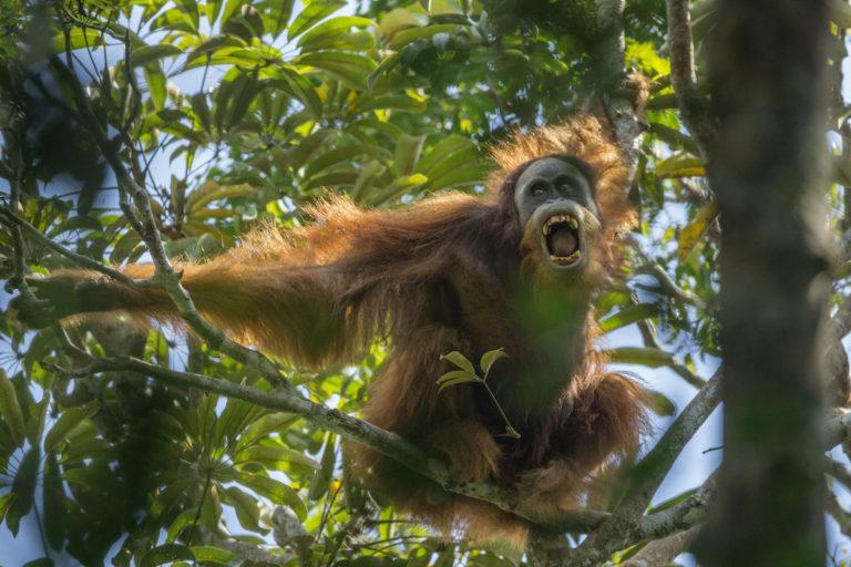 International Orangutan Day: Hasta 1996, se consideraba que el género Pongo contaba con una sola especie, pero ahora se sabe que son 3: el de Borneo (Pongo pygmaeus, que cuenta con 3 subespecies: P. p. pygmaeus, P. p. morio y P. p. wurmbii), el de Sumatra (P. abelli) y el de Tapanuli (P. tapanuliensis, en la foto), recientemente identificado. Todos ellos habitan en los bosques lluviosos de Borneo y Sumatra. Foto: Maxime Aliaga