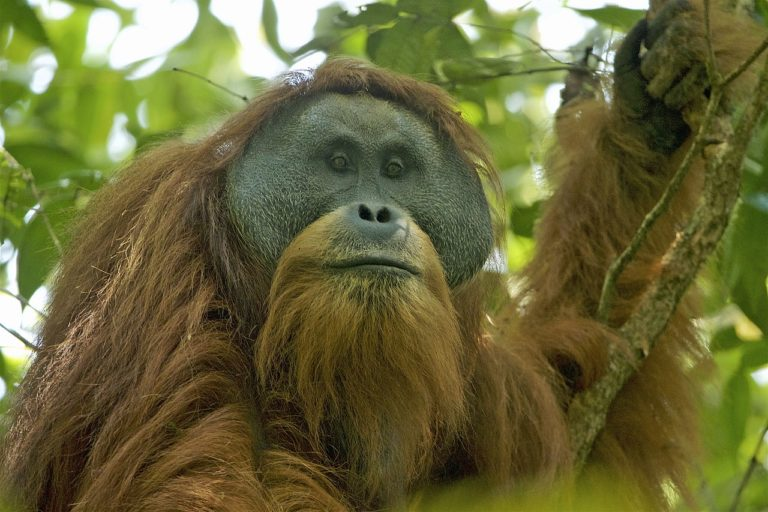 Un orangután de Tapanuli. Los orangutanes machos, a cierta edad, presentan adiposidades distintivas alrededor del hocico, una característica preferida por las hembras a la hora de elegir pareja para reproducirse. Foto: Tim Laman / Wikimedia Commons