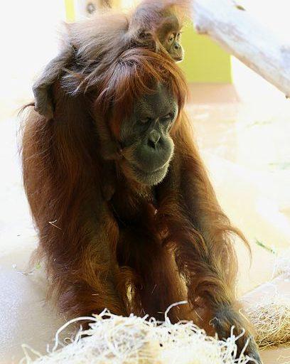International Orangutan Day: Una orangután de Sumatra hembra y su cría. El estado de conservación de los orangutanes es En Peligro Crítico, según la Unión Internacional para la Conservación de la Naturaleza. En el 2016, se estimó que había tan solo 100 000 individuos en estado salvaje y se calcula que la población total descenderá hasta 47 000 para el 2025. Las causas son la caza furtiva, la pérdida de hábitat y el tráfico de fauna. Dado lo amenazado de las especies, existen varios proyectos de conservación en el mundo. Foto: Rufus46 / Wikimedia Commons