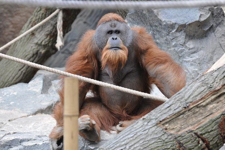 International Orangutan Day: Un orangután de Sumatra. Los orangutanes son los menos sociales de los grandes simios: los machos suelen vivir solos. El día de este animal comienza con un periodo de comer de 2 a 3 horas para luego descansar hasta media tarde, donde se trasladan por su territorio. Al caer la noche, preparan sus nidos para dormir. Foto: Aiwok / Wikimedia Commons