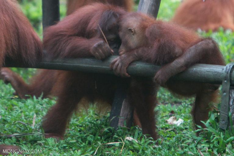 International Orangutan Day: Dos orangutanes de Borneo usan una rama como herramienta. Los orangutanes han sido investigados siempre por su gran inteligencia, siendo conocidos por su capacidad para diseñar herramientas y usar objetos de manera creativa. Foto: Rhett A. Butler