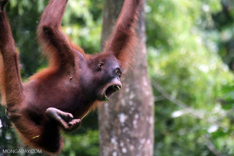 International Orangutan Day: Un orangután de Borneo. La fruta compone entre el 65 y 90 por ciento de la dieta de los orangutanes, pero también comen hojas, corteza de árboles, insectos, huevos de aves y hasta loris perezosos. En tiempos de abundancia de frutas, los orangutanes pueden consumir hasta 11 mil calorías, mientras en épocas de escasez, alrededor de 2 mil. Foto: Rhett A. Butler