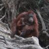 International Orangutan Day: Una orangután de Borneo hembra y su cría. Las orangutanes hembras tienen su primera cría entre los 14 y 15 años, en promedio, y dan a luz cada 8 años. Los machos no intervienen en la crianza del bebé, que depende totalmente de la madre durante los dos primeros años de su vida. Foto: Rhett A. Butler