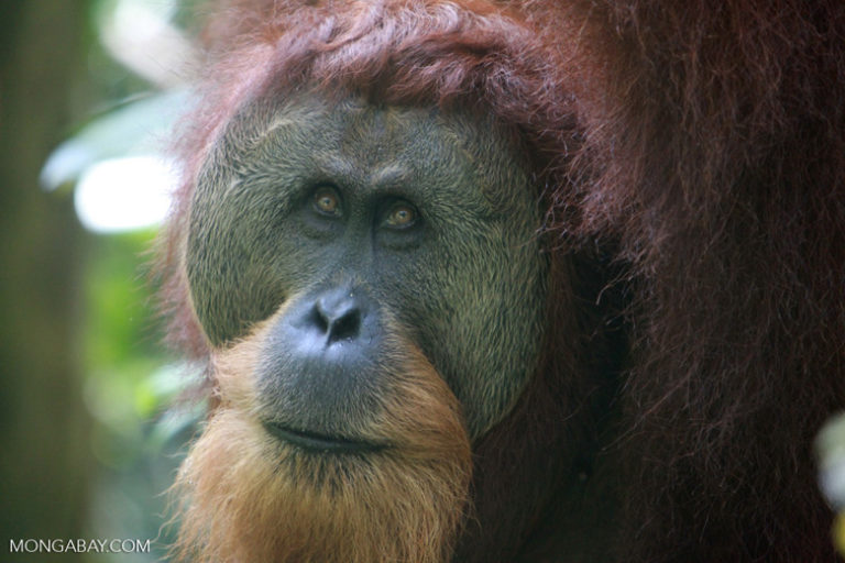 International Orangutan Day: Un orangután de Sumatra macho. Foto: Rhett A. Butler