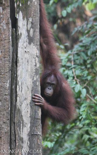 International Orangutan Day: Un orangután de Borneo. Foto: Rhett A. Butler