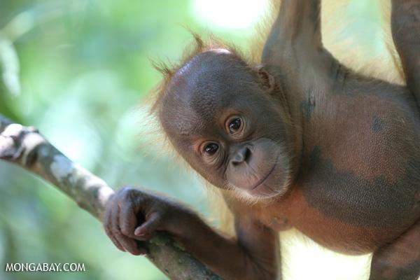 International Orangutan Day: Una joven cría de orangután de Sumatra. Foto: Rhett A. Butler