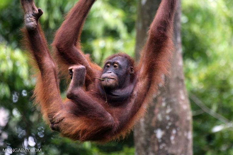 International Orangutan Day: Un orangután de Borneo en un centro de rehabilitación en Sabah. Foto: Rhett A. Butler