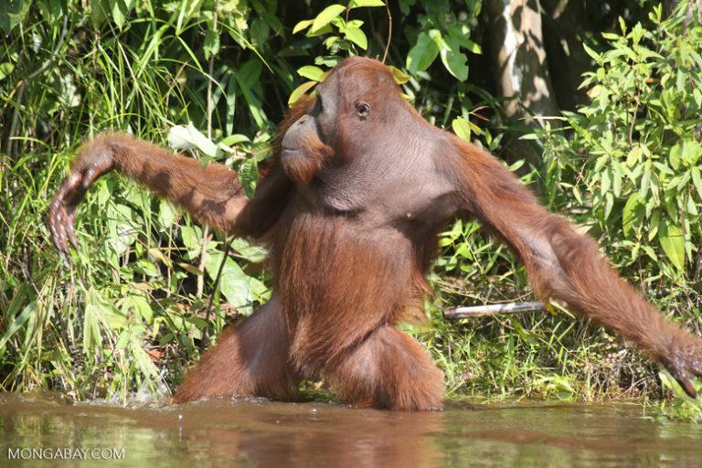 International Orangutan Day: Un orangután de Borneo. Si bien pasan gran parte de su vida en los árboles, los orangutanes también se desplazan por el suelo, aunque lo evitan por miedo a depredadores como tigres, panteras nebulosas y cocodrilos. Se ha observado que en Borneo, donde no hay tigres, los orangutanes pasan más tiempo en el suelo. Foto: Rhett A. Butler