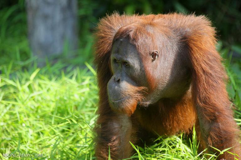 """International Orangutan Day: El nombre orangután proviene del malayo Orang Hutan, que significa """"hombre del bosque"""". Los machos del género son significativamente más grandes que las hembras, con una talla promedio de 137 centímetros y 75 kilos de peso contra 115 cm y 37 kg. Viven alrededor de 30 años. Foto: Rhett A. Butler"""