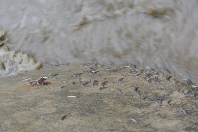 Los chipi chipis se aferran a las rocas para continuar su viaje contra la corriente. Foto: Guido Miranda / WCS
