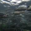 Cultivos de salmones. Foto: WWF Chile - Meridith Kohut.