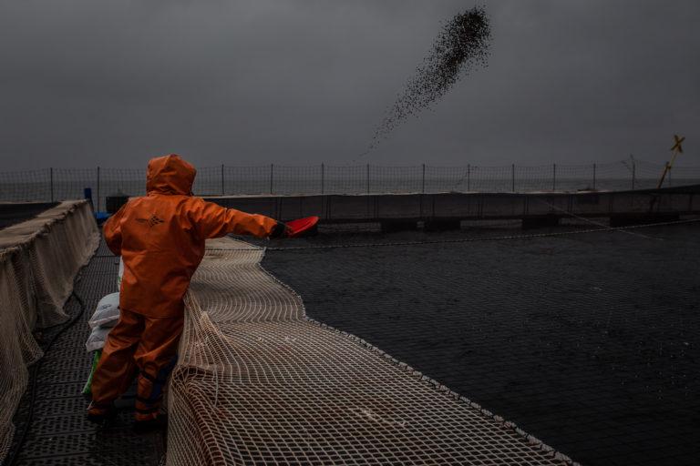 Trabajador alimentando a los salmones. Foto: WWF Chile-Meridith Kohut.